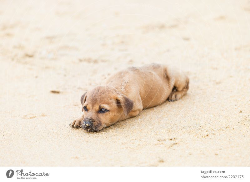 Puppy relaxing at the beach, Sri Lanka Nature Vacation & Travel Dog Summer Sun Landscape Relaxation Calm Beach Natural Tourism Freedom Sand Idyll Card Peace
