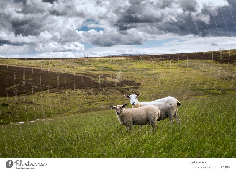 Looking sheep Nature Landscape Plant Animal Clouds Horizon Summer Grass Bushes Mountain heather Meadow Bog Farm animal Sheep 2 Group of animals Observe To feed
