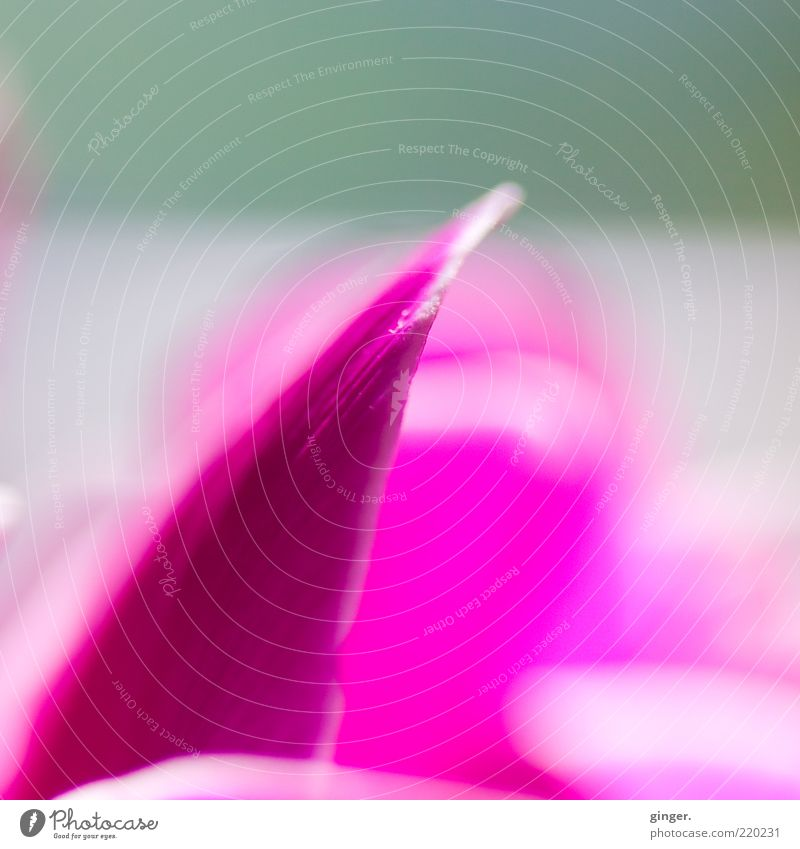 Tip Pink Plant Flower Blossom White Blossom leave Gaudy Upward Contrast Cyclamen Blur Deserted Colour photo Interior shot Close-up Detail