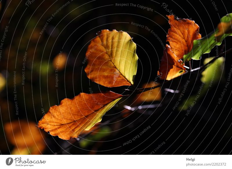 autumn colouring Environment Nature Plant Autumn Tree Leaf Twig Forest Illuminate To dry up Authentic Uniqueness Natural Brown Yellow Green Black Moody Calm