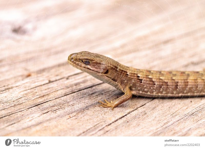 Southern Alligator lizard Elgaria multicarinata Nature Animal Wood Brown Wild animal Pet Animal face Reptiles Scales Saurians