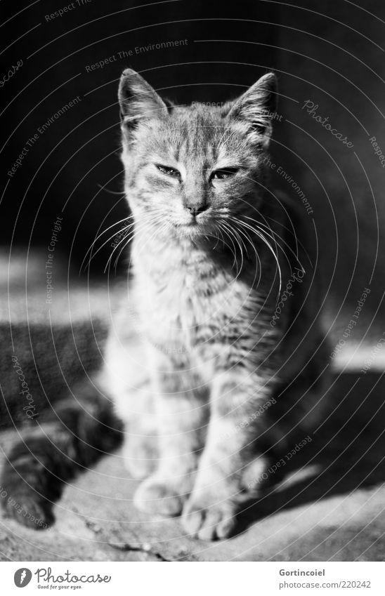 Calm Animal Cat Baby animal Elegant Sit Esthetic Pride Humble Whisker Purr Free-living Cat eyes Cat's paw Cat's head Cat's ears