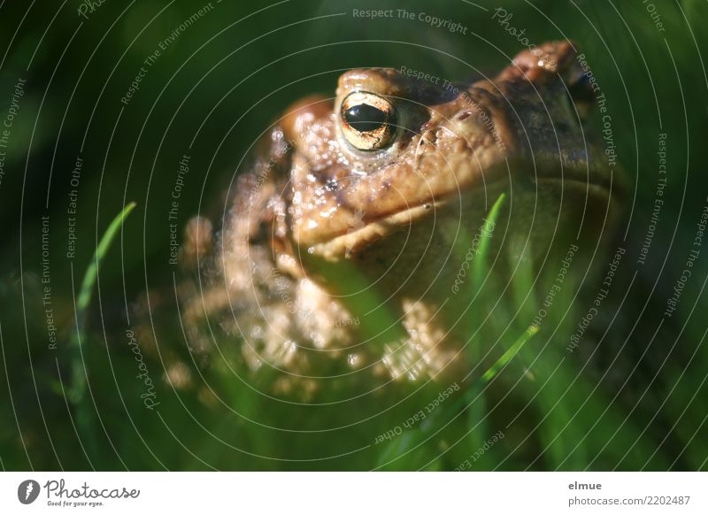 Toad from the worm's-eye view Environment Nature Animal Meadow Wild animal Frog Painted frog Toad migration Common toad Amphibian Observe Kissing Looking Creepy