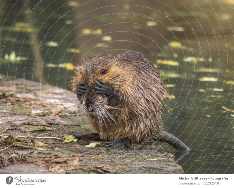 Can't look anymore Nature Animal Water Beautiful weather Leaf Lakeside River bank Pond Wild animal Animal face Pelt Paw Musk rat Rodent 1 Sit Sadness Cry