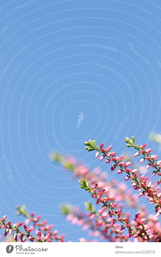 Sky and Erika Plant Cloudless sky Heather family Mountain heather Growth Blue Green Violet Pink Colour photo Close-up Detail Deserted Copy Space left