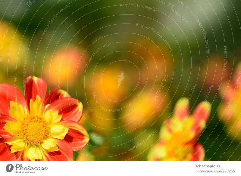 Nature Flower Green Plant Red Yellow Life Blossom Spring Warmth Bright Blossoming Friendliness Blossom leave Dahlia Bright yellow