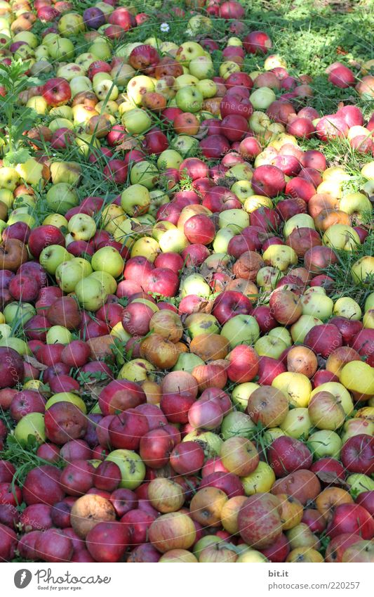 500 pcs. ... Food fruit apples Nutrition Organic produce Environment Nature Summer Autumn Garden Meadow Field Old Fresh Juicy Red To fall Compost Heap Harvest