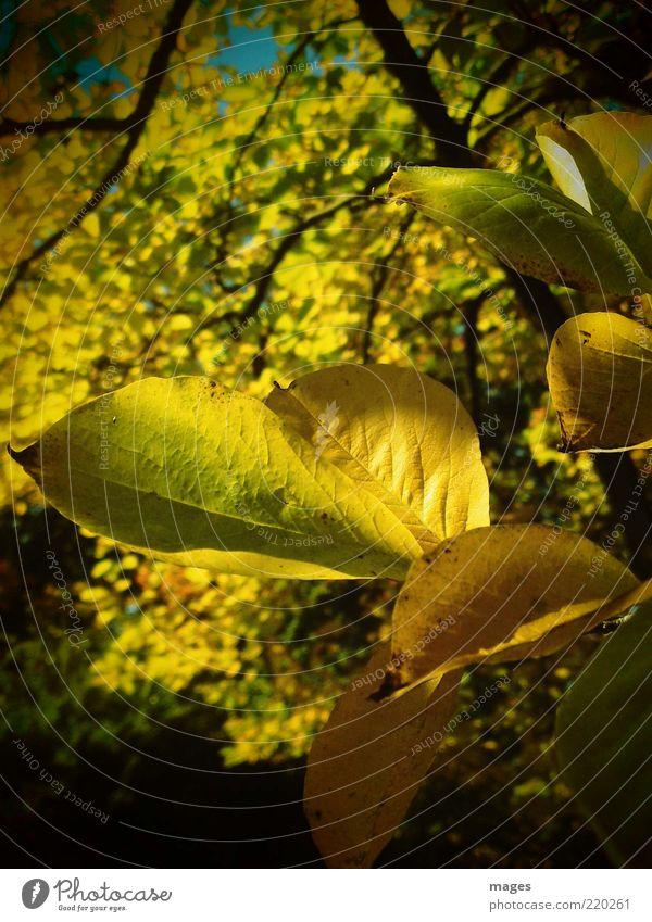 AutumnGold Environment Nature Plant Sun Old Illuminate Esthetic Near Yellow Optimism Uniqueness Idyll Leaf Autumn leaves Close-up Colour photo Exterior shot