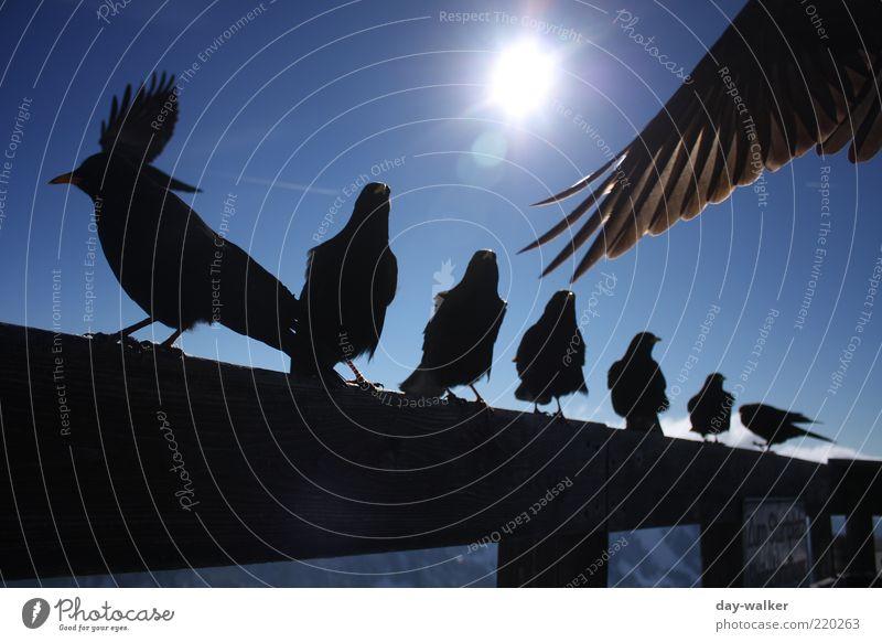 Sky Sun Blue Black Animal Autumn Mountain Bird Sit Group of animals Feather Wing Alps Peak Beautiful weather Handrail