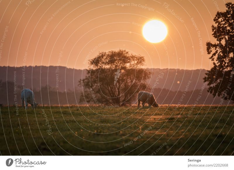 Nature Plant Sun Landscape Animal Environment Autumn Meadow Pair of animals Glittering Beautiful weather Group of animals Observe Pasture Pet Pelt