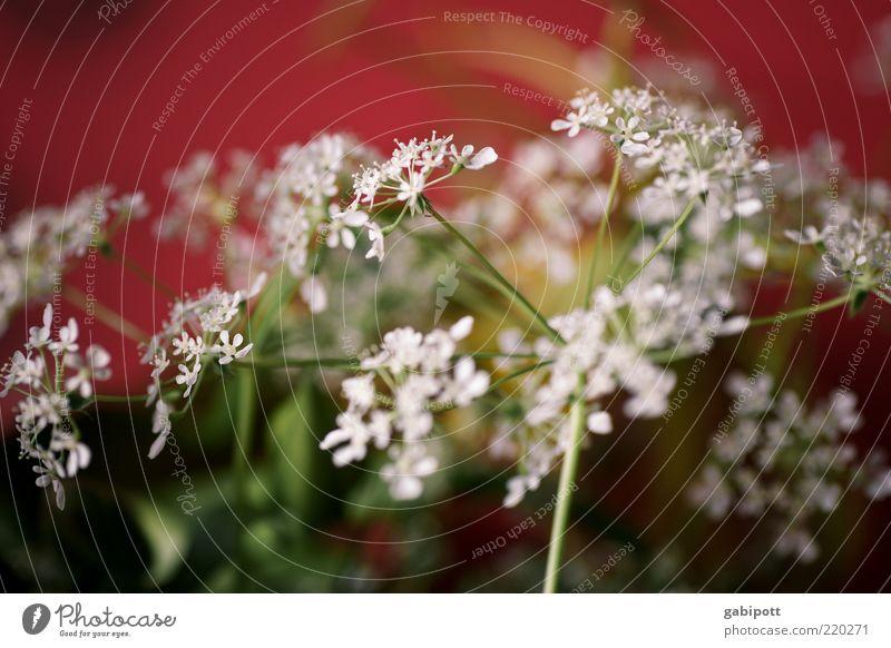Bluem for bitti Environment Nature Plant Flower Leaf Blossom Wild plant Fragrance Friendliness Red White Joie de vivre (Vitality) Optimism Festive Joybringer
