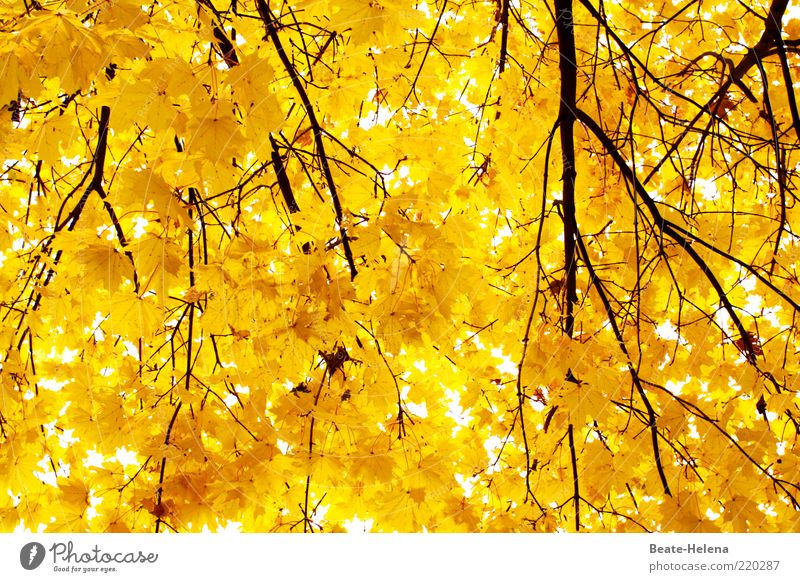 Brilliant autumn power Nature Tree Illuminate Growth Esthetic Bright Clean Yellow Gold Emotions Moody Uniqueness Optimism Autumn leaves Autumnal colours