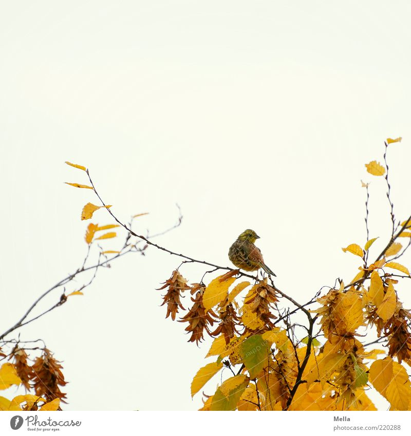 November bird Environment Nature Plant Animal Autumn Tree Leaf Branch Autumn leaves Wild animal Bird 1 Looking Sit Free Bright Small Natural Cute Yellow Time