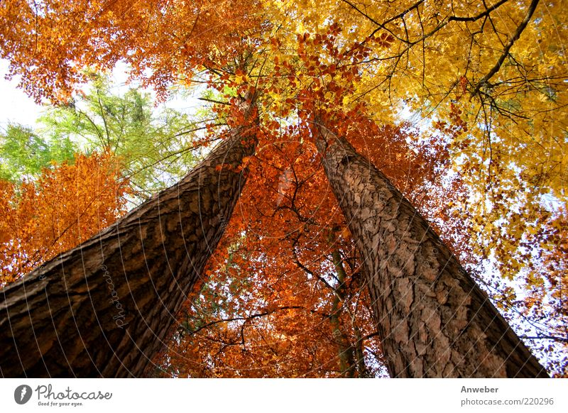 Skywards in autumn Environment Nature Plant Autumn Weather Beautiful weather Tree Forest Esthetic Exceptional Brown Multicoloured Yellow Gold Green Red White