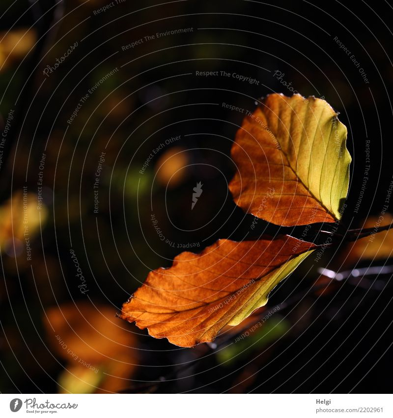 All over the place, shiny leaves. Environment Nature Plant Autumn Beautiful weather Tree Leaf Beech tree Beech leaf Rachis Autumn leaves Twig Forest Illuminate