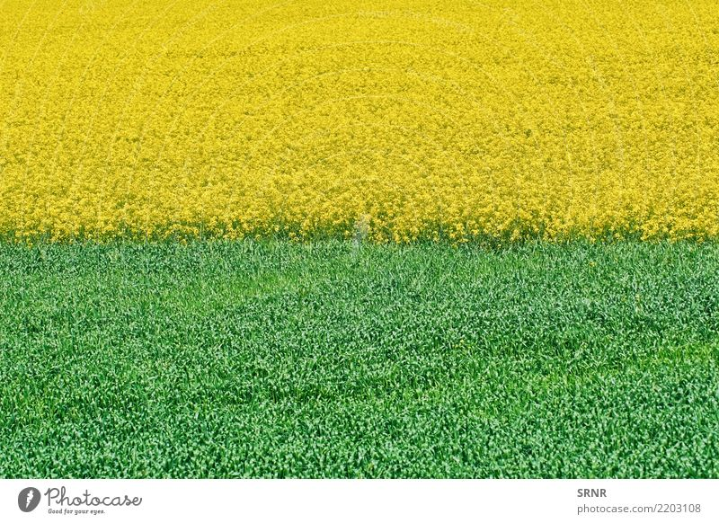 Field of Colza and Wheat Nature Plant Landscape Environment Meadow Growth Lawn Agriculture Ecological Rural Large-scale holdings