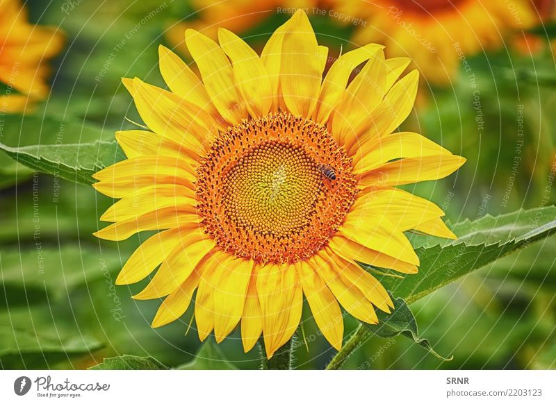 Blooming Sunflower Beautiful Summer Garden Culture Environment Nature Landscape Plant Flower Blossom Growth Bright Natural Yellow Colour ecosystem Ecological