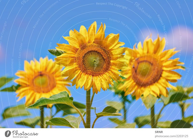 Blooming Sunflowers Beautiful Summer Garden Culture Environment Nature Landscape Plant Flower Blossom Growth Bright Natural Yellow Colour agriculture