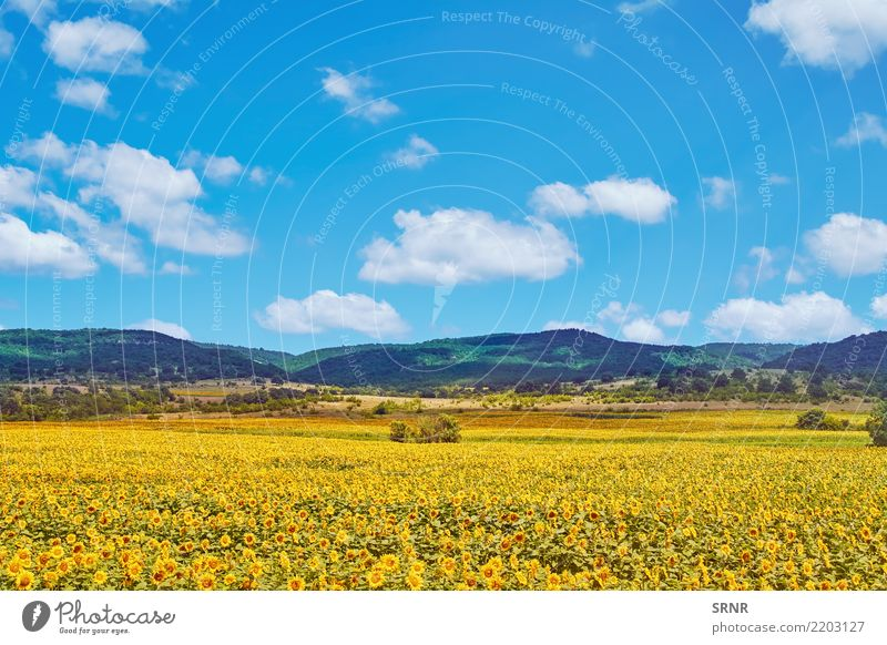 Field of Sunflowers Mountain Environment Nature Plant Flower Blossom Blossoming agriculture ecosystem Ecological field agricultural area agricultural holding