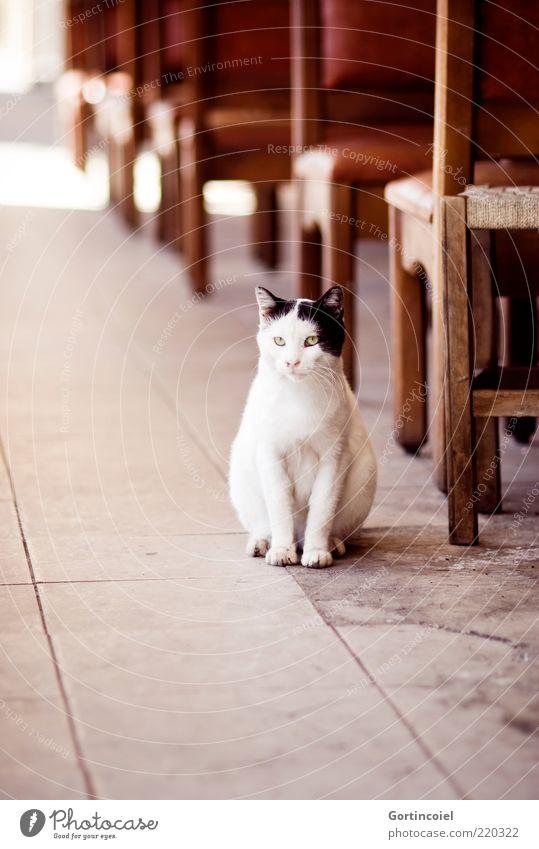 patience Animal Cat Animal face Paw 1 Patient Cat's head Sidewalk café Chair Wait White Black Pelt Street cat Prowl Colour photo Exterior shot Copy Space bottom
