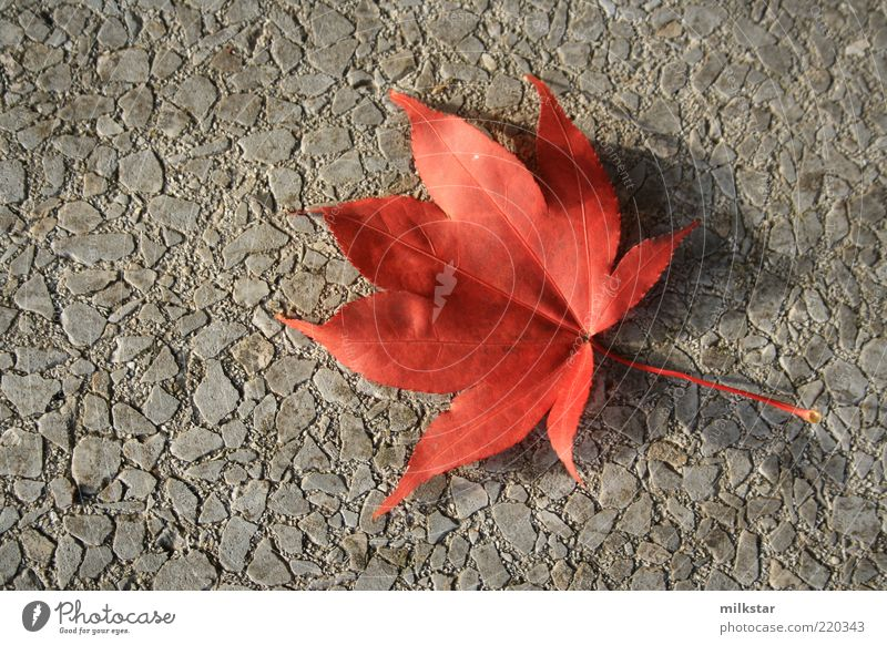 Red vs. grey Harmonious Plant Autumn Leaf Wild plant Calm Nature Transience Change Contrast October November Colour photo Exterior shot Deserted Copy Space left