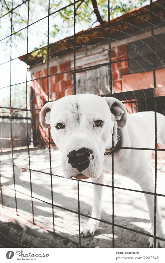 Dogo Argentino - Argentino Mastiff Summer Animal Pet Animal face 1 Observe Beautiful Muscular Cute Strong White Safety Protection Loyal Power Insurance Trust
