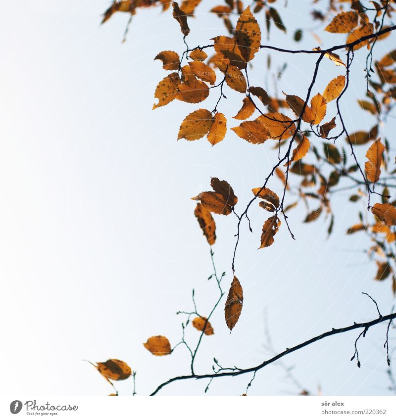 leaf loss Nature Sky Cloudless sky Autumn Leaf Branch Sadness Grief Autumn leaves Autumnal Delicate October Suspended Change Transience Seasons Colour photo