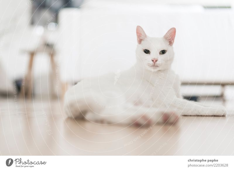 sphinx Living or residing Flat (apartment) Living room Animal Pet Cat 1 Observe Lie Looking Bright White Love of animals Pride Watchfulness Colour photo