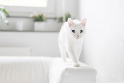 Cat White Animal Movement Going Flat (apartment) Living or residing Cute Curiosity Discover Pet Pelt Sofa Animal face Paw Love of animals