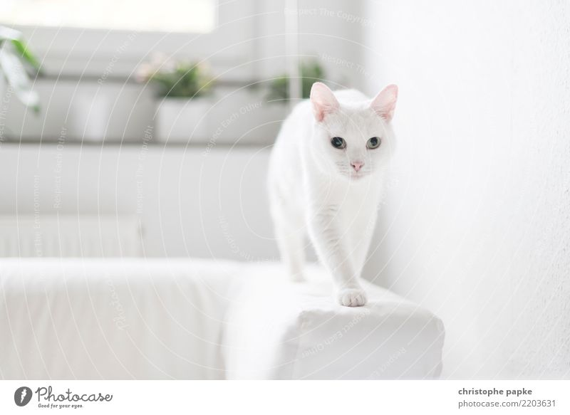 in balance Living or residing Flat (apartment) Sofa Animal Pet Cat Animal face Pelt Paw 1 Movement Discover Going Curiosity Cute White Love of animals
