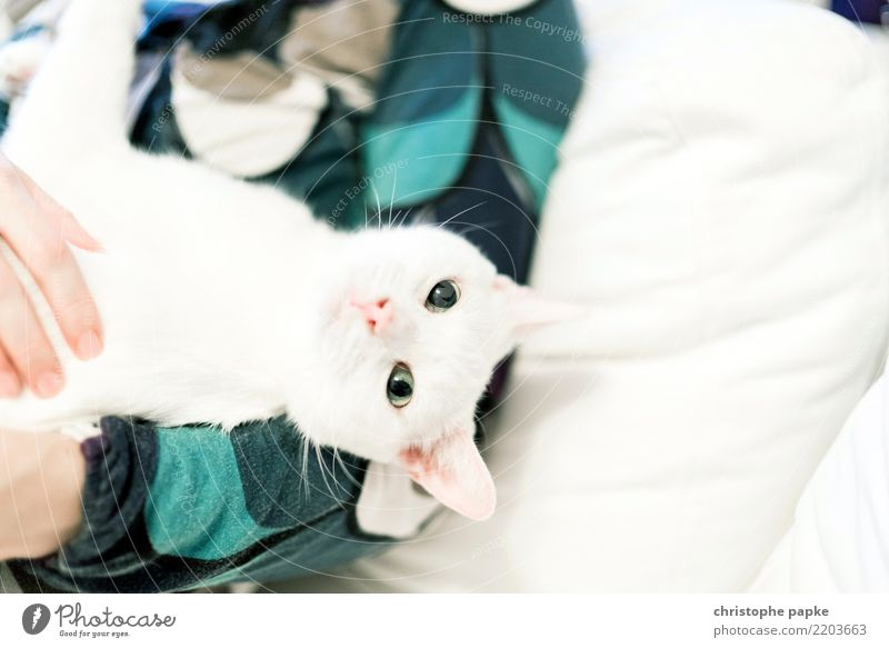 couchcat Living or residing Flat (apartment) Animal Pet Cat Animal face 1 Cute White Love of animals Curiosity Caress Cuddly Sofa Looking Calm Colour photo