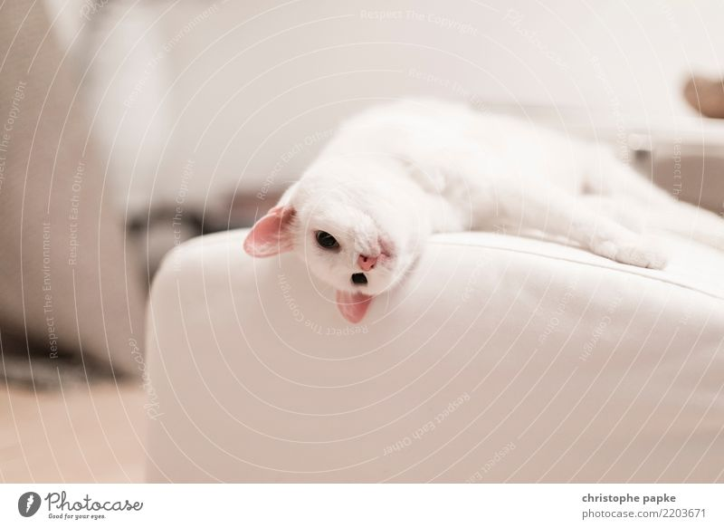 Lazy Sunday Well-being Contentment Relaxation Calm Living or residing Flat (apartment) Animal Pet Cat Animal face Pelt Paw 1 Sleep Cute White Love of animals