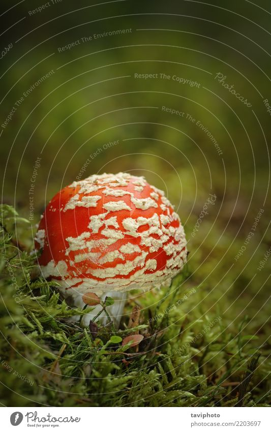 colorful fly agaric growing on moss Beautiful Nature Plant Autumn Grass Moss Forest Growth Bright Natural Wild Green Red White Dangerous Colour amanita muscaria