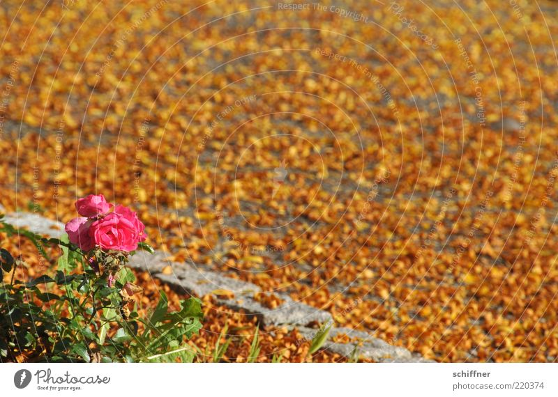 Beautiful Flower Plant Leaf Yellow Autumn Blossom Pink Gold Rose Ground Transience Blossoming Illuminate Many Beautiful weather