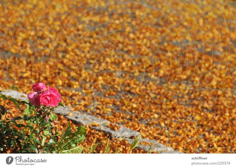 Girl in autumn Plant Sunlight Beautiful weather Rose Foliage plant Illuminate Yellow Pink Autumn Autumn leaves Autumnal Autumnal colours Leaf Ground Many
