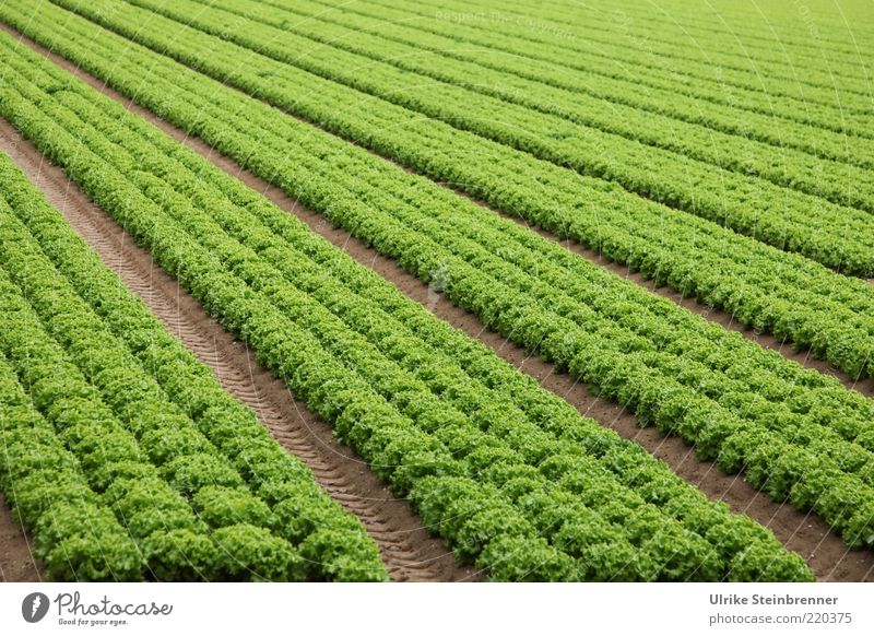 Green Line Field Fruit Multiple Italy Agriculture Row Agriculture Geometry Vegetable Lettuce Parallel Sowing Foliage plant Vegetarian diet
