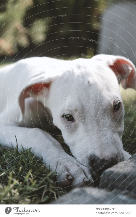 Dogo Argentino - Argentino Mastiff Puppy Animal Pet Paw 1 Baby animal Lie Looking White Love of animals Calm Relaxation Animal portrait Watchdog mastic