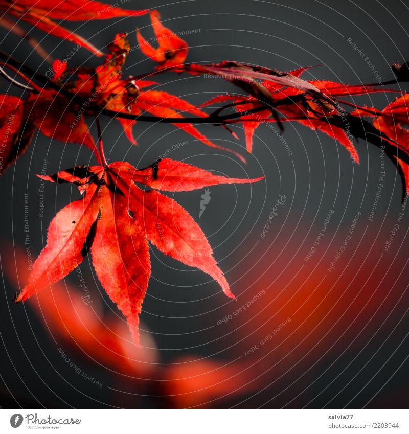 Seasons   fiery autumn Nature Plant Autumn Tree Bushes Leaf Maple tree Autumnal colours Twig Autumn leaves Park Red Black Colour Contrast Fiery Bright Colours