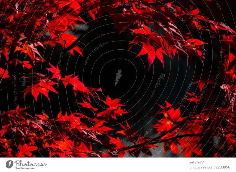Luminous leaves Nature Autumn Plant Bushes Leaf Maple branch Leaf canopy Maple leaf Garden Park Illuminate Red Black Design Colour Change Time Autumnal colours