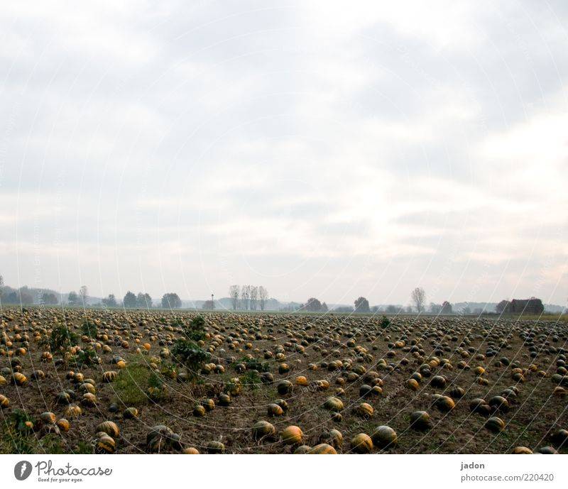 Green Plant Far-off places Yellow Autumn Horizon Earth Field Gold Round Vegetable Fat Organic produce Agriculture Organic farming Pumpkin
