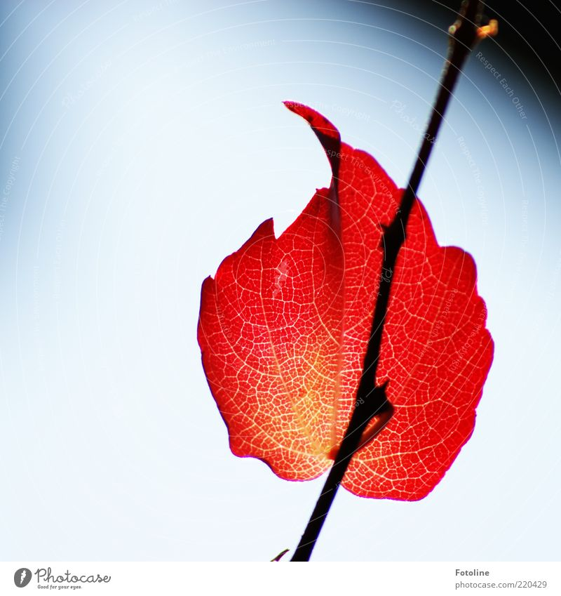 Nature Sky Plant Red Leaf Autumn Air Bright Environment Vine Natural Illuminate Elements Twig Individual Tendril