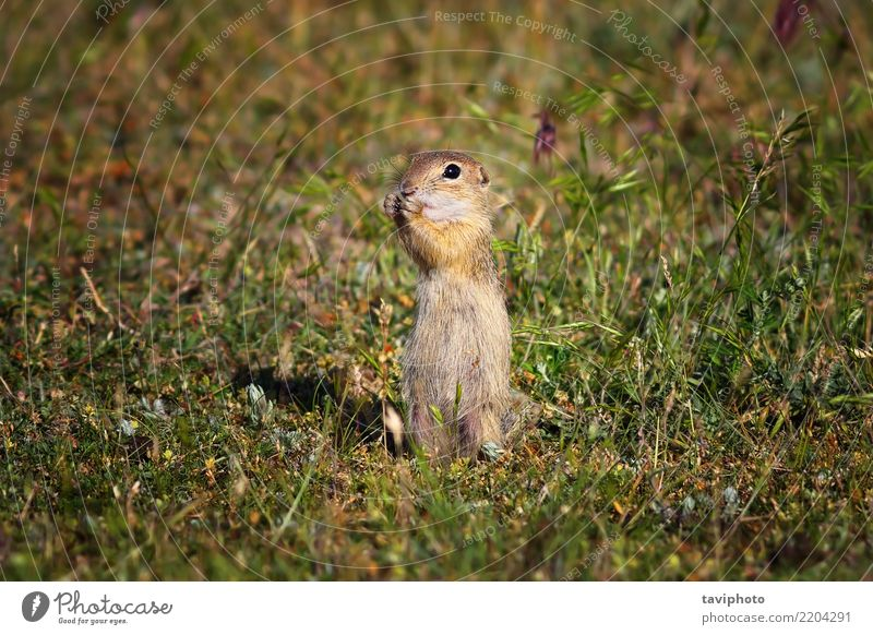 cute ground squirrel in natural habitat Eating Beautiful Summer Environment Nature Animal Grass Meadow Fur coat Feeding Stand Small Funny Natural Cute Wild