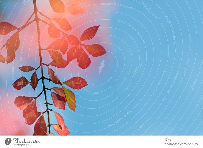 red flamed Environment Nature Plant Sky Cloudless sky Autumn Bushes Esthetic Blue Pink Red Transience Change Leaf Twig Branch Autumnal colours Multicoloured