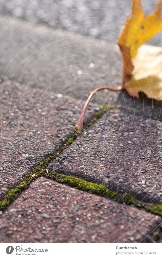 Nature Old Red Leaf Yellow Autumn Lanes & trails Gold Time To fall Sidewalk Seasons Footpath Moss Paving stone Shriveled