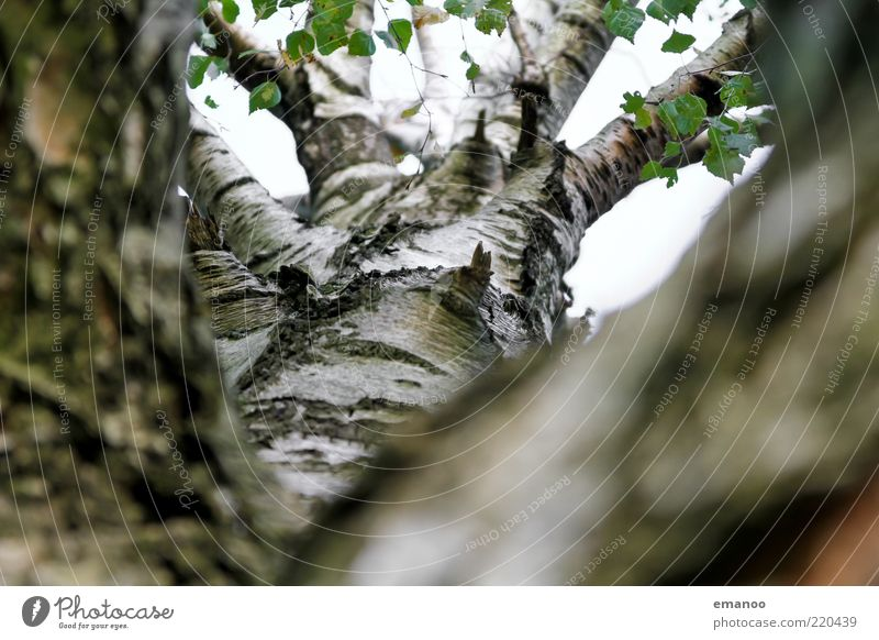 birch tree Environment Nature Plant Spring Summer Autumn Tree Leaf Growth White Life Birch tree Birch bark Tree bark Branch Tree trunk Surface Smoothness Sky