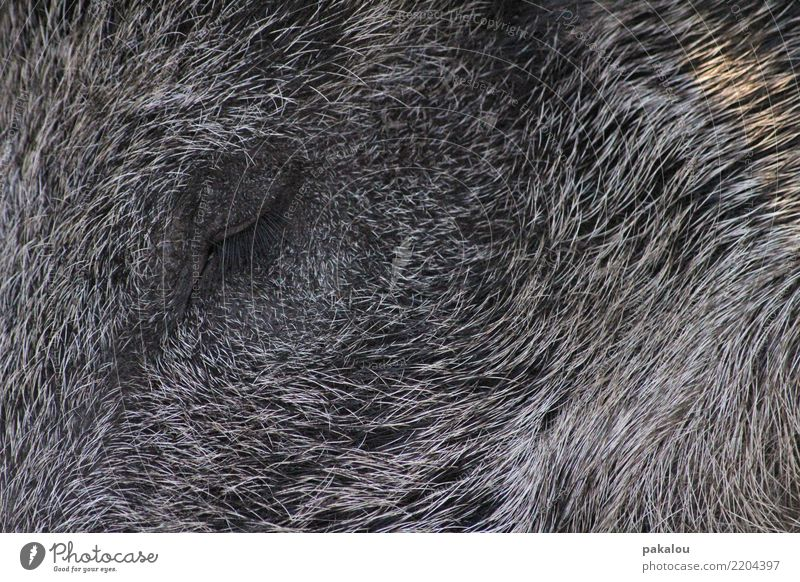 Torsten das Borstentier Animal wildschwein eber bache keiler 1 Sleep Wait Gray Moody jagd Jäger Beute Tod Treibjagd Ruhe Frieden Wald Waldtier Wildtier