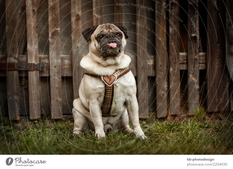 Portrait of a Pug dog outdoors Animal Pet Dog 1 Sit pug pugs For paw paws portrait hound hunt domestic animal mammal sweet brown creature autumn autumnal