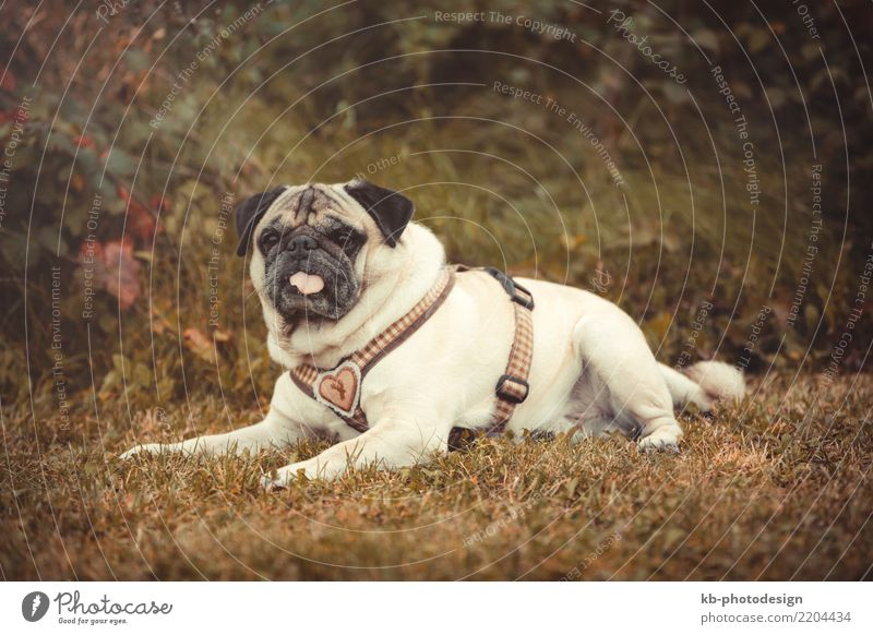 Portrait of a Pug dog outdoors in autumnal landscape Animal Pet Dog Animal face 1 Sit pug pugs For paw paws portrait hound hunt domestic animal mammal sweet