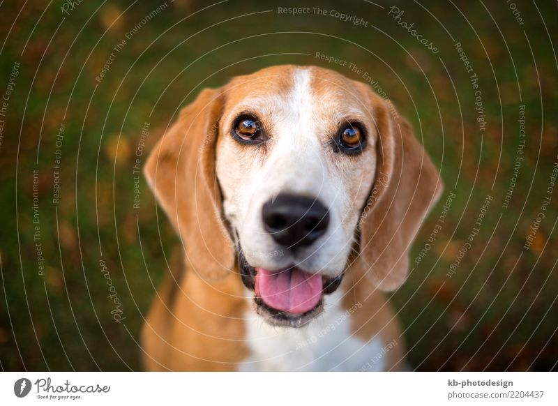 Dog Animal Sit Pet Animal face Beagle