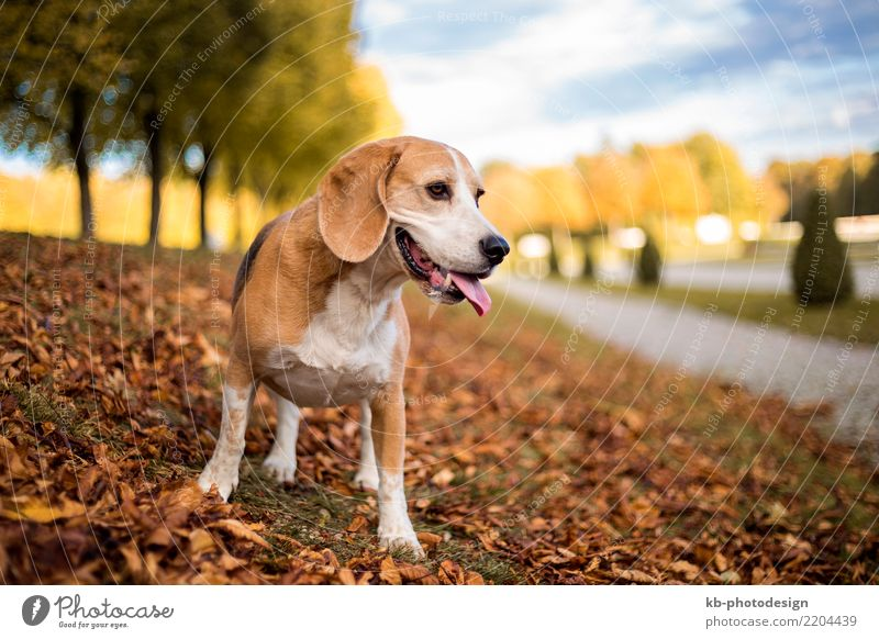 Portrait of a Beagle dog in autumnal landscape Animal Pet Dog Animal face 1 Playing portrait hound hound dog hunting dog domestic animal mammal brown creature
